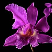 Catalea Orchid Art Print