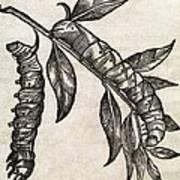 Caterpillars, 17th Century Artwork Art Print
