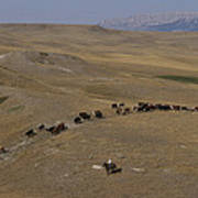 Cattle Drive In Montana Art Print