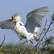 Cattle Egret In Breeding Plumage Art Print