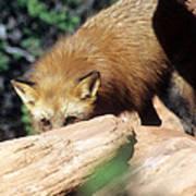 Cautious Red Fox Art Print