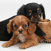 Cavalier King Charles Spaniel Puppies Art Print by Jane Burton