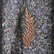 Cedar On Granite Art Print