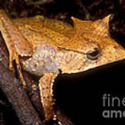 Central American Casque Headed Frog Art Print