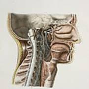 Cervical Spinal Nerves, 1844 Artwork Art Print