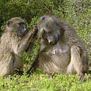 Chacma Baboons Grooming Art Print