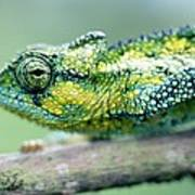Chameleon In The Forests Of Mt Meru Art Print