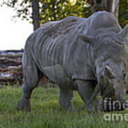 Charging Rhino. Art Print