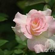 Charles Aznavour Rose Art Print