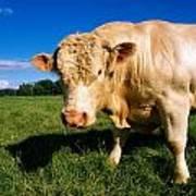 Charolais Bull, Ireland Art Print