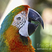 Chatty Macaw Art Print