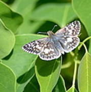 Checkered Skipper Art Print