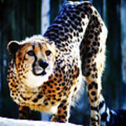 Cheeta Art Print