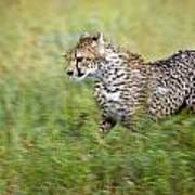 Cheetah Acinonyx Jubatus, Running Art Print by Carson Ganci
