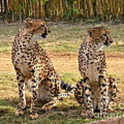 Cheetah Chat 1 Art Print