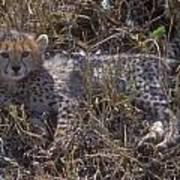 Cheetah Kitten Art Print