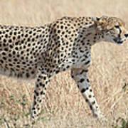 Cheetah Stepping Out Art Print