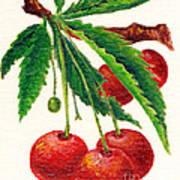 Cherries On A Branch Art Print