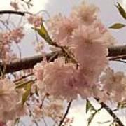 Cherry Blossom 2 Art Print