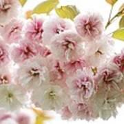 Cherry Blossom (cerasus Sp.) Art Print