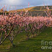 Cherry Blossom Pink Art Print