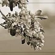 Cherry Blossoms Sepia Art Print