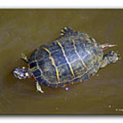 Chester River Turtle Art Print by Brian Wallace