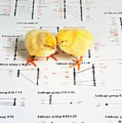 Chicken Genetics Art Print
