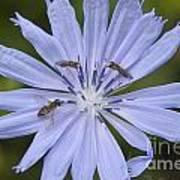 Chicory For Three Art Print