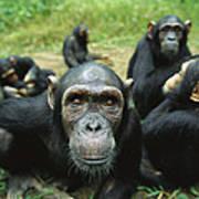 Chimpanzee Pan Troglodytes Female Art Print