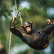 Chimpanzee Pan Troglodytes Resting Art Print