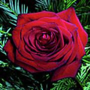 Christmas Rose Art Print by Mariola Bitner