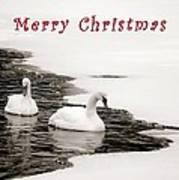 Christmas Swans 2367 Art Print