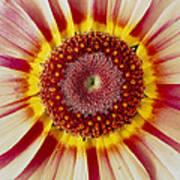 Chrysanthemum Carinatum Flower Art Print