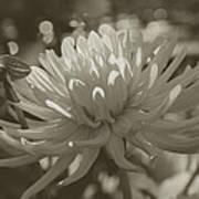 Chrysanthemum In Bloom Art Print