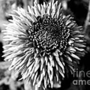 Chrysanthemum In Monochrome Art Print