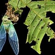 Cicada Emerging From Chrysalis Art Print