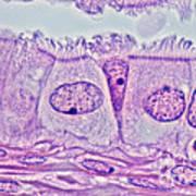 Ciliated Epithelium, Phase Microscopy Art Print