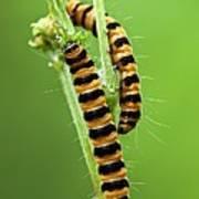 Cinnabar Moth Caterpillars Art Print