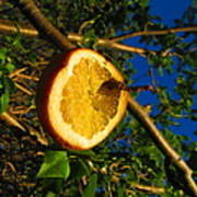 Citrus In The Tree Art Print