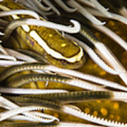 Clingfish On Crinoid, Australia Art Print