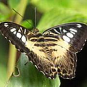 Clipper Butterfly Art Print