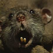 Close Up Of A Rats Fast-growing Teeth Art Print