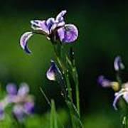 Close-up Of Blue Flag Irises Iris Art Print
