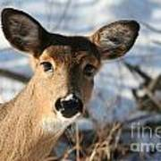 Close Up Of Deer In A Snowy Wooded Setting Art Print by Christopher Purcell