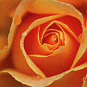 Close Up Of Rose Art Print