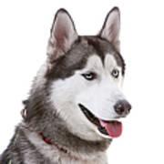 Close-up Of Siberian Husky Art Print