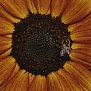 Close View Of A Bee On A Sunflower Art Print