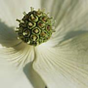 Close View Of A Dogwood Blossom Art Print