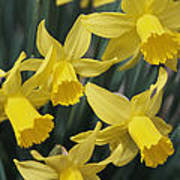 Close View Of Early Spring Daffodils Art Print